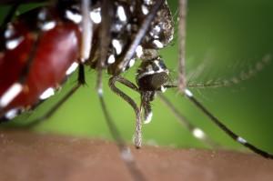 proboscis, albopictus aedes, moustique, l'alimentation, humaine, du sang