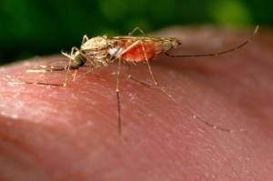 Anopheles gambiae, комаров, кровь, еды, каналы, человека, принимающих