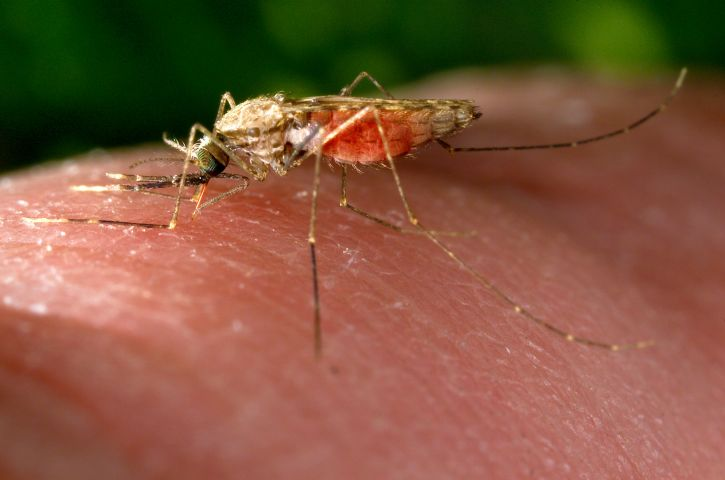 anopheles, gambiae, mosquito, blood, meal, feeds, human, host