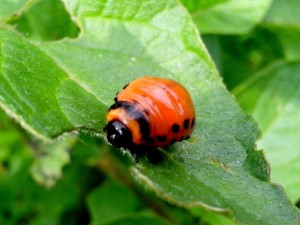 potato, bug, insect, eating, green leaves