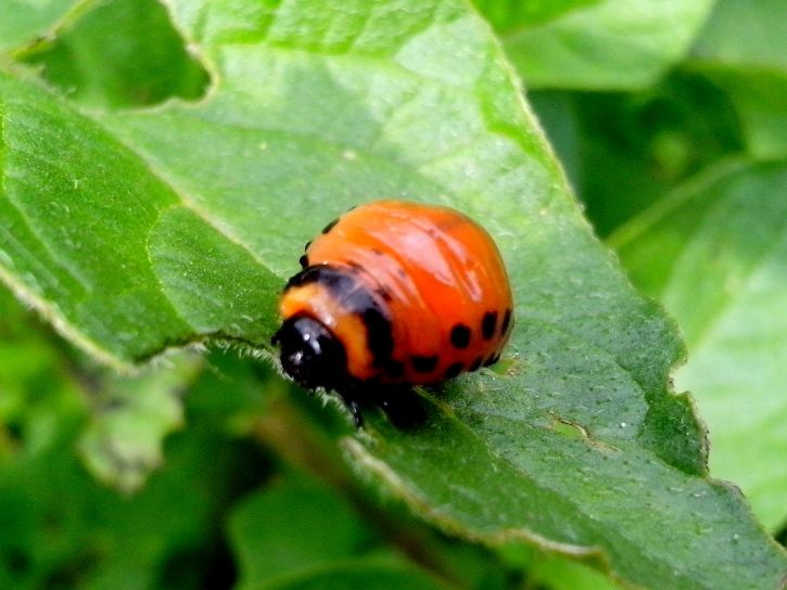 potato, bug, insect, eating, green, leaves