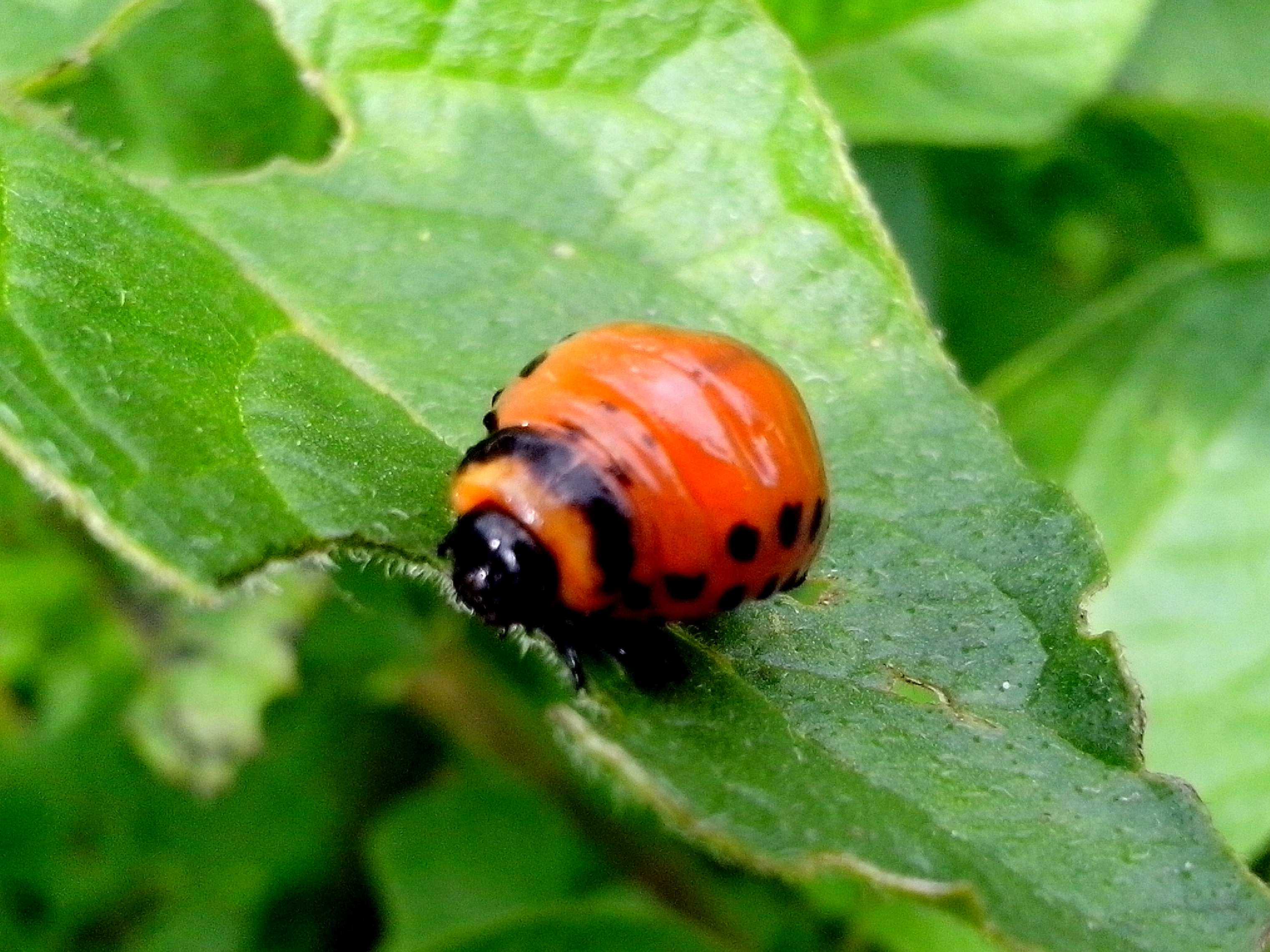 Free photograph; potato, bug, insect, eating, green, leaves