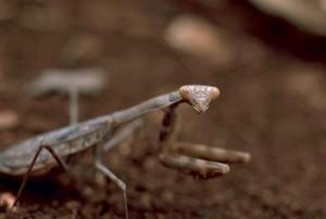 Makro, Bild, Gottesanbeterin, Insekt, Stagmomantis, Carolina