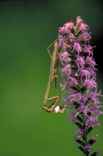 praying mantis, insect, mantis, religiosa, dense, blazingstar, flower