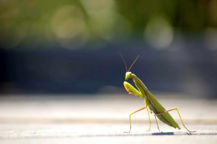 Gottesanbeterin, Insekt, Foto