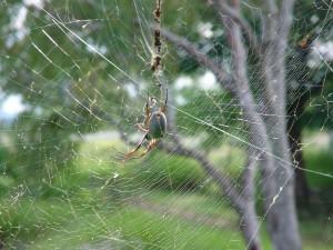 fat, spider