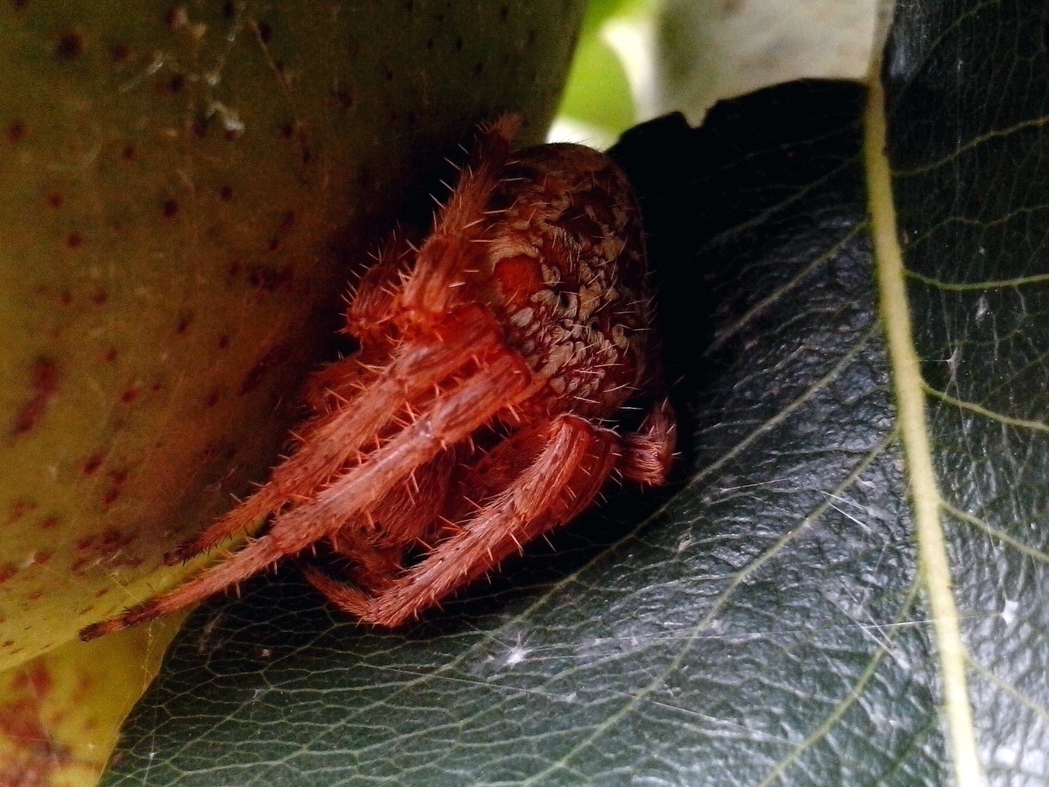 Free photograph; large, fruit, spider