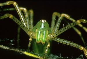 Lynx, αράχνη, αραχνοειδές έντομο