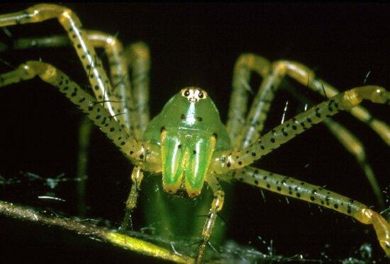 lynx, spider, arachnid