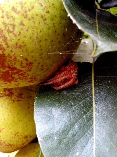 pear, spider, leaves