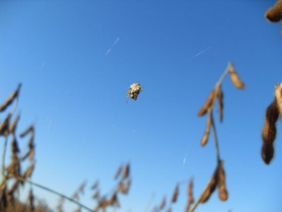 small, spider, soybean, field