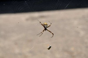 spider, embraced, prey, network