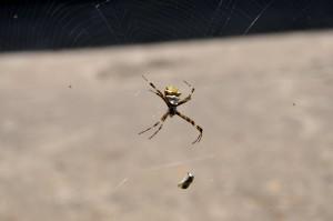 spider, embraced, prey, network