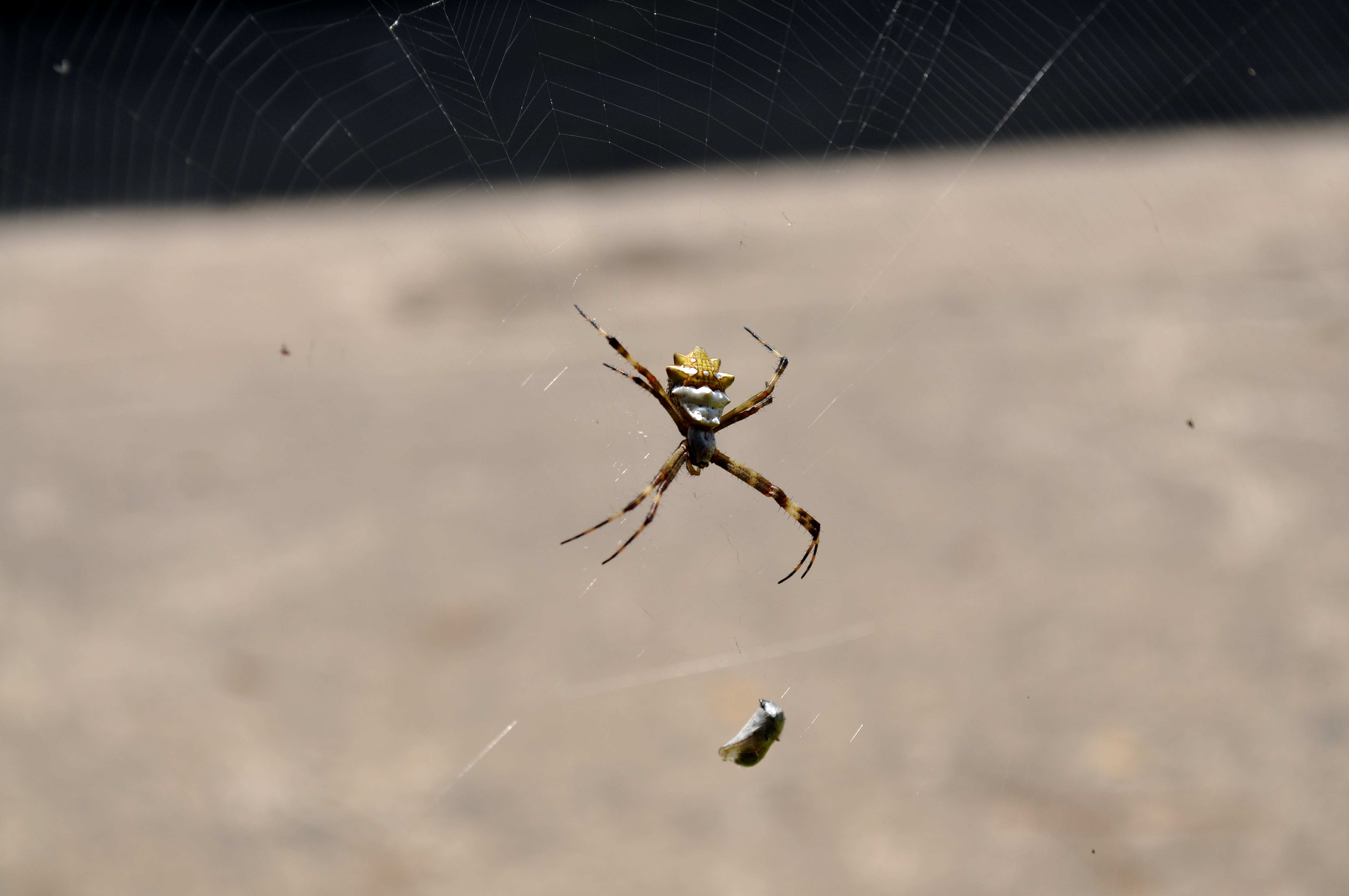 Free photograph; spider, embraced, prey, network