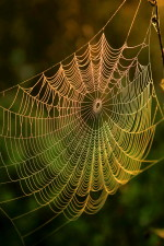 spider, web, water, dews, sunrise