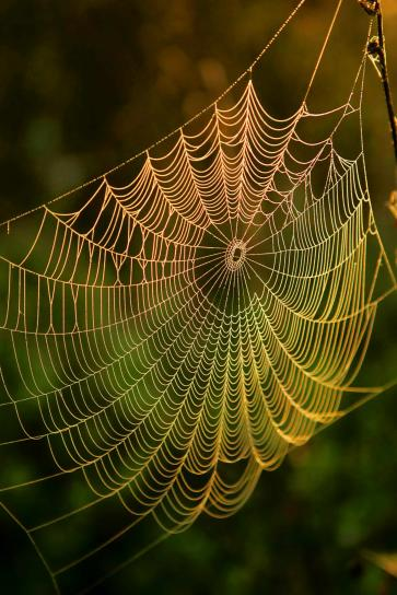 spider, web, water, dews, sunrise