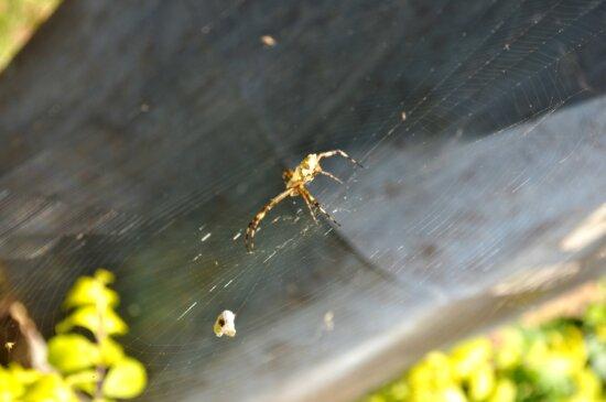 spider, prey, network