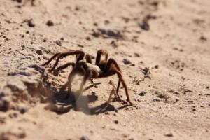 tarantule, rodina theraphosidae, pouštní