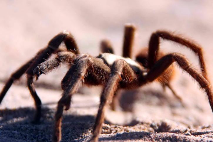 tarantula, walking, desert, sands