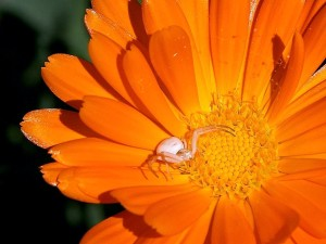 white, spider, orange flower