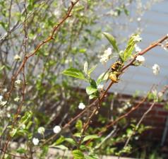 amarillo, chaqueta, pulgones, florido, blanco, arbusto