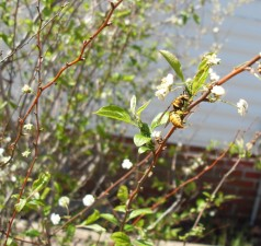 jaune, veste, pucerons, fleuri, blanc, buisson
