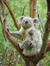 koala, animal, árbol