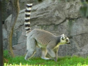 lemur, motion