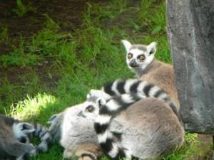 lémurs, lémur, catta