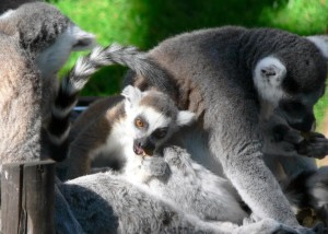 lémurs, Madagascar