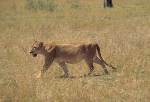 African, lion, animal