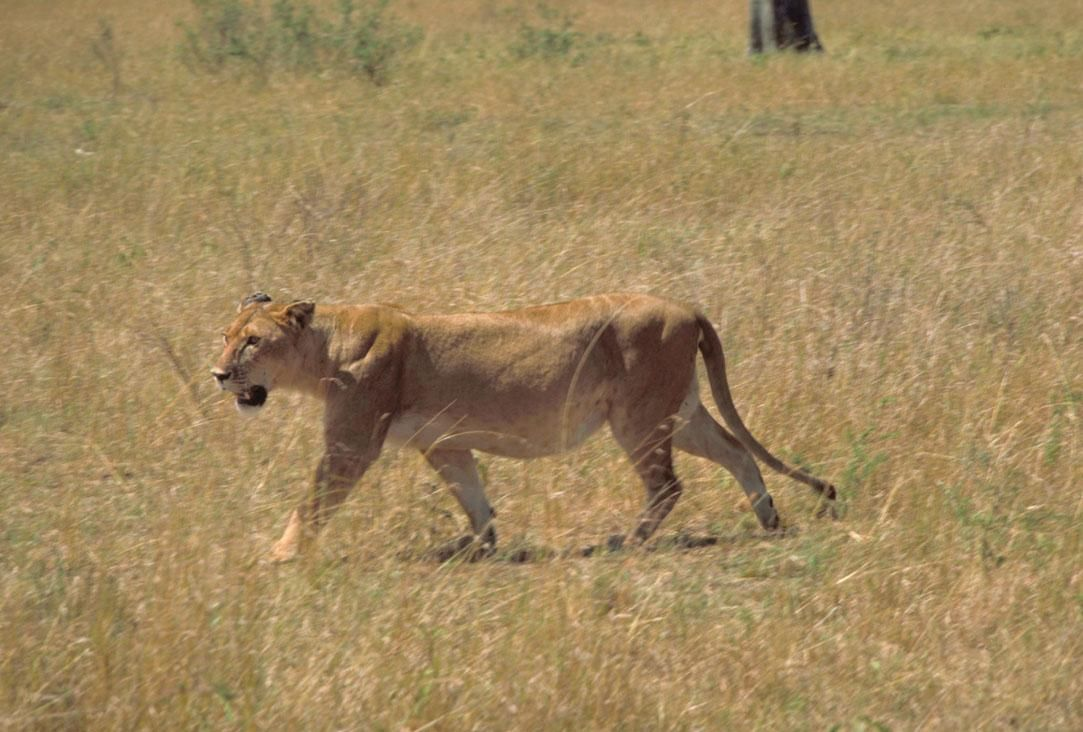 african lion facts facts about female lions facts about male lions african lion facts for kids interesting facts about african lions biggest african lion african lion fun facts west african lion facts facts about lion prides south african lion facts east african lion facts african lion amazing facts biggest male lion in the world