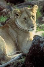African, lion, close