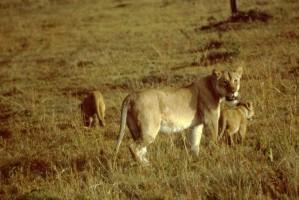 Afrikansk, løve, kvinne, unger