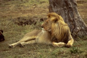 African, lion