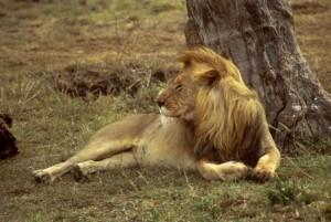 Afrika, Löwe