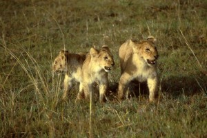African, lions