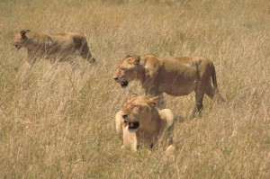 Africaine, lions, chasse