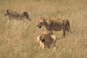 Afrička, lavovi, lov