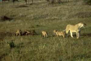female, lion, cubs, mammals