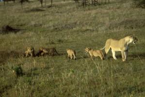 femelle, lion, petits animaux, mammifères