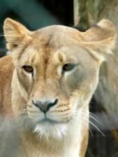 lion, face, female