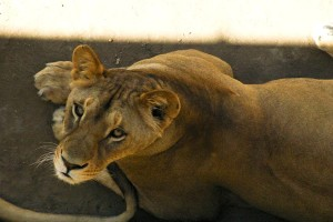 lion, femme, animal