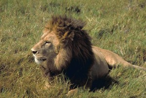 male, lion, African, lion
