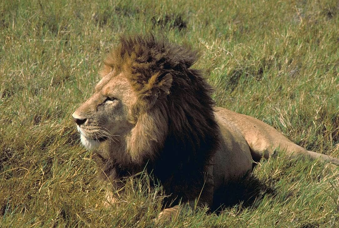 Free picture: male, lion, African, lion