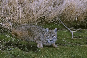 bobcat, crouched, beside, dried, vegetation