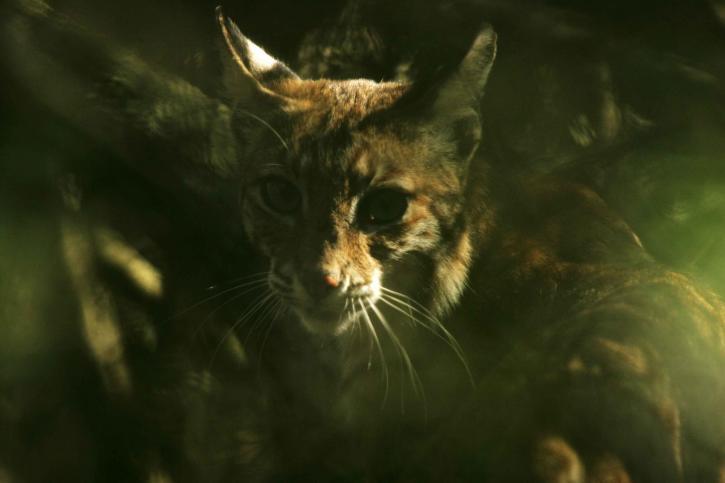 bobcat, dark, plants, lynx, rufus
