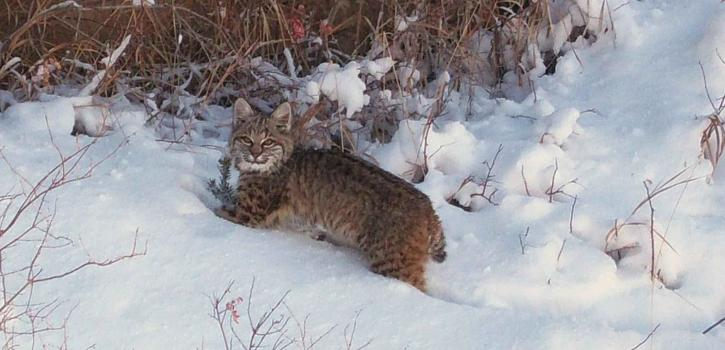 Bobcat, χιόνι