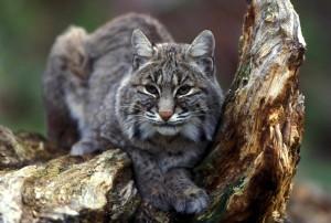 Bobcat, сидячи, дерево