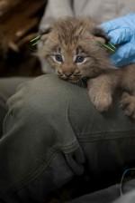 Kanada, lynx, kotě